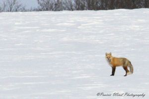 IMG_3568 1 Red Fox