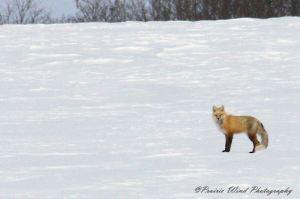 IMG_3568 1 Red Fox