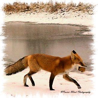 IMG_0097 fox apple