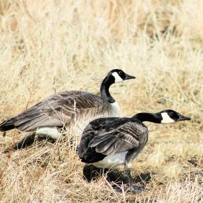 IMG_9136 geese