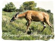 IMG_0017 deer